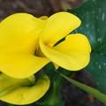 Photos: Calla Lilies 3-8-16
