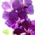 Vanda Pachara Delight 3-18-16
