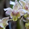 Dendrobium Aussie's Chip 3-18-16
