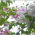 写真: Pink and White 3-18-16