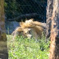 South African Lion 1-6-18