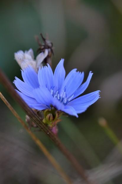 写真: Chicory I 10-20-17