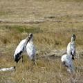 写真: Wood Storks 1-7-18