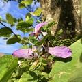 Purple Orchid Tree I 1-13-18