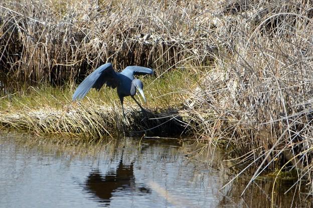 Little Blue Heron I 1-7-18