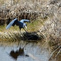 Little Blue Heron I 1-7-18