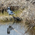 写真: Little Blue Heron II 1-7-18