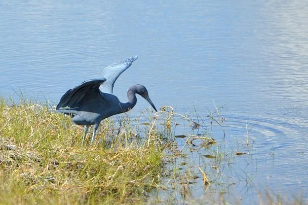 Little Blue Heron IV 1-7-18