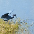 写真: Little Blue Heron IV 1-7-18