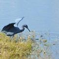Photos: Little Blue Heron IV 1-7-18