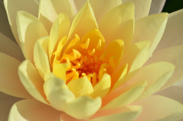 Water Lily II 2-25-18