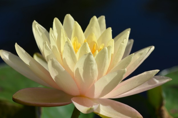 Water Lily III 2-25-18