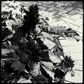 写真: 黒いひまわり。
