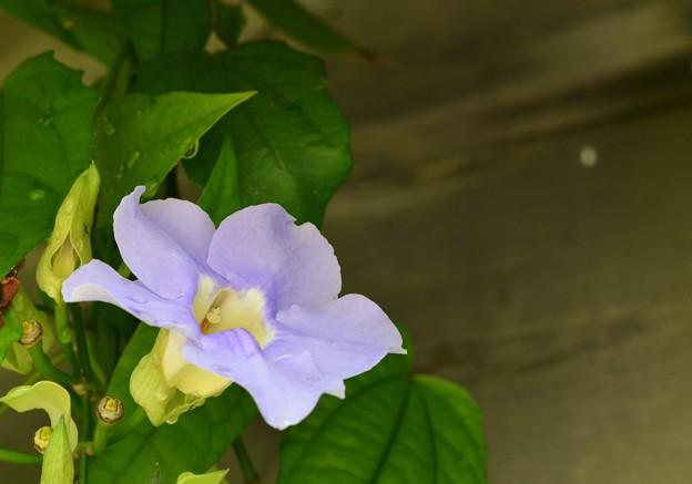 Blue Trumpet Vine 3-11-18