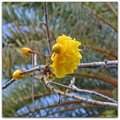 Photos: Double Buttercup Tree I 2-25-17