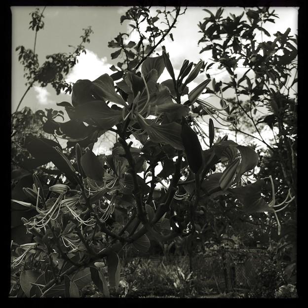 Hong Kong Orchid Tree II 2-25-18