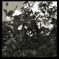 写真: Hong Kong Orchid Tree II 2-25-18