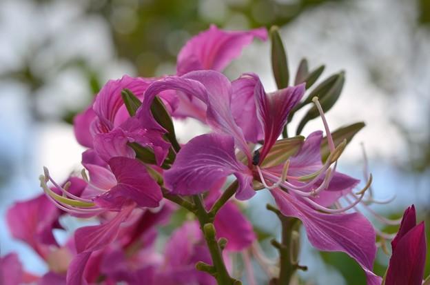 Hong Kong Orchid Tree I 2-25-18