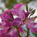写真: Hong Kong Orchid Tree I 2-25-18