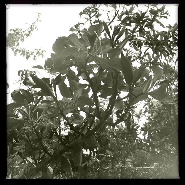 Hong Kong Orchid Tree III 2-25-18