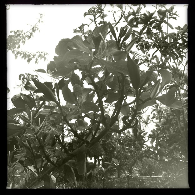 Photos: Hong Kong Orchid Tree III 2-25-18