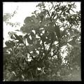写真: Hong Kong Orchid Tree III 2-25-18