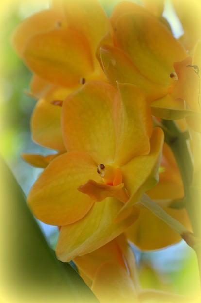 Yellow Vanda 2-25-18