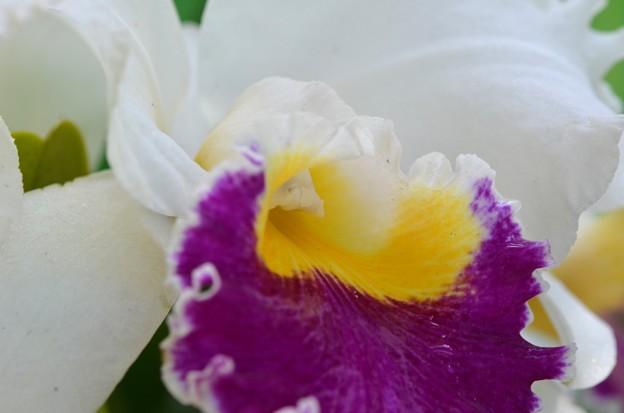 写真: Cattleya Orchid 2-25-18