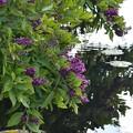 写真: Mexican Lilac 3-11-18