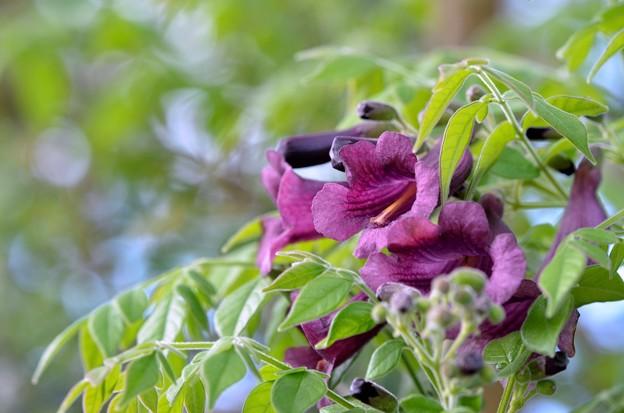 写真: Jacaranda jasminoides 3-11-18