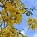 Silver Trumpet Tree II 3-11-18