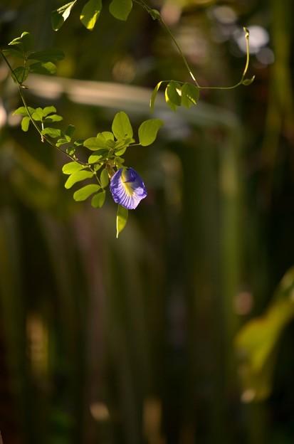 写真: Butterfly Pea 3-18-18