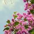写真: Tree Bougainvillea I 3-11-18