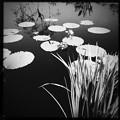 写真: Purple Water Lily III 3-18-18