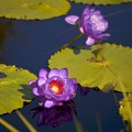 Puple Water Lily I 3-18-18