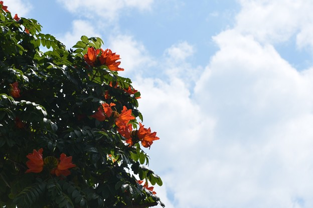 African Tuliptree 4-8-18