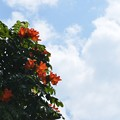 写真: African Tuliptree 4-8-18