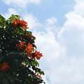 Photos: African Tuliptree 4-8-18