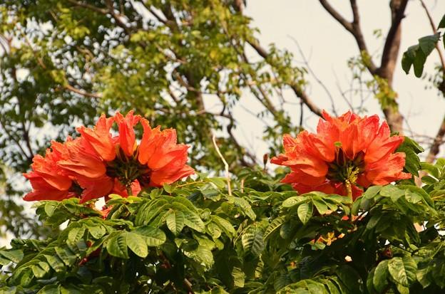 African Turip Tree II 4-21-18