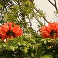 写真: African Turip Tree II 4-21-18