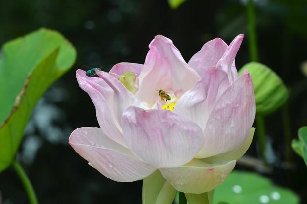 A Bee and a Cuckoo Wasp 5-16-18
