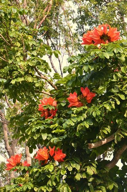 African Tulip Tree I 4-21-18