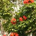 写真: African Tulip Tree I 4-21-18