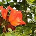 写真: African Tulip Tree IV 4-21-18
