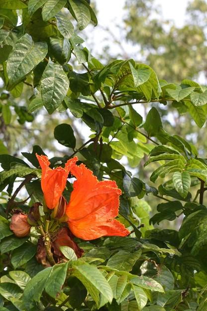写真: African Tulip Tree III 4-21-18