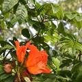 African Tulip Tree II 4-21-18