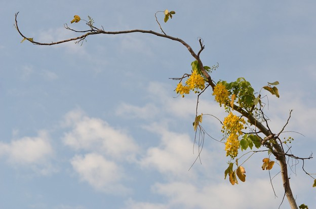 Golden Shower Tree I 4-21-18
