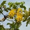 写真: Golden Shower Tree II 4-21-18