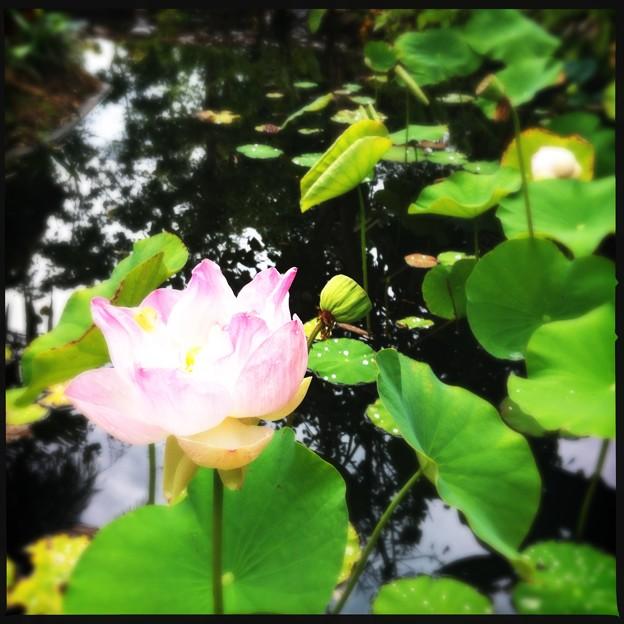 Lotus IV 5-16-18