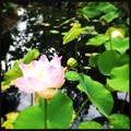 写真: Lotus IV 5-16-18